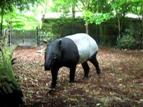 Tapir Shows off @Woodland Park Zoo