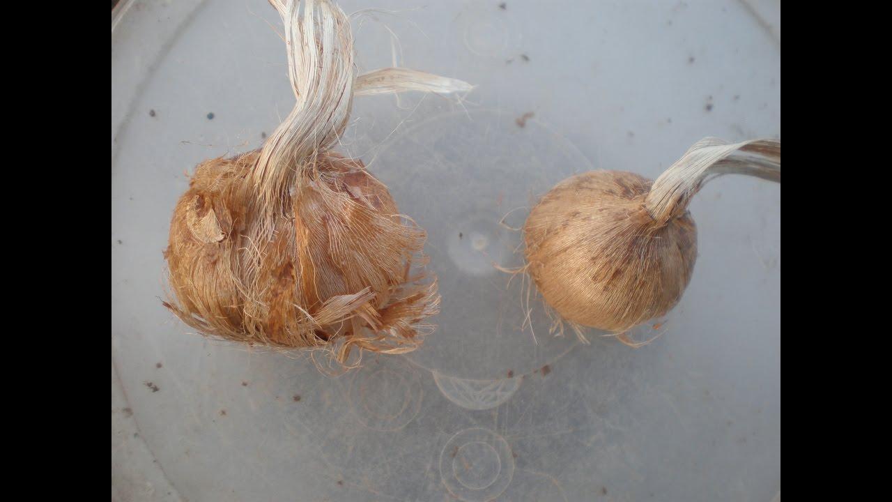 Шафран посевной выращивание 35