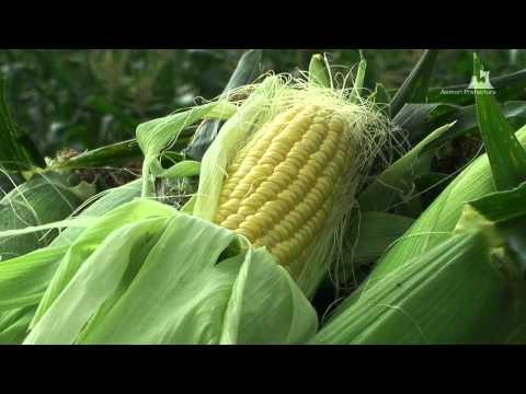 嶽きみ(だけきみ)収穫風景 - 収穫物 - 0449A