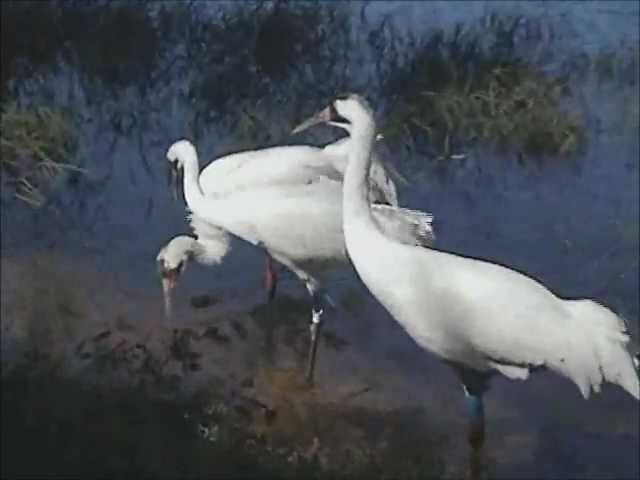 Lucky the Whooping Crane (Pt 1)