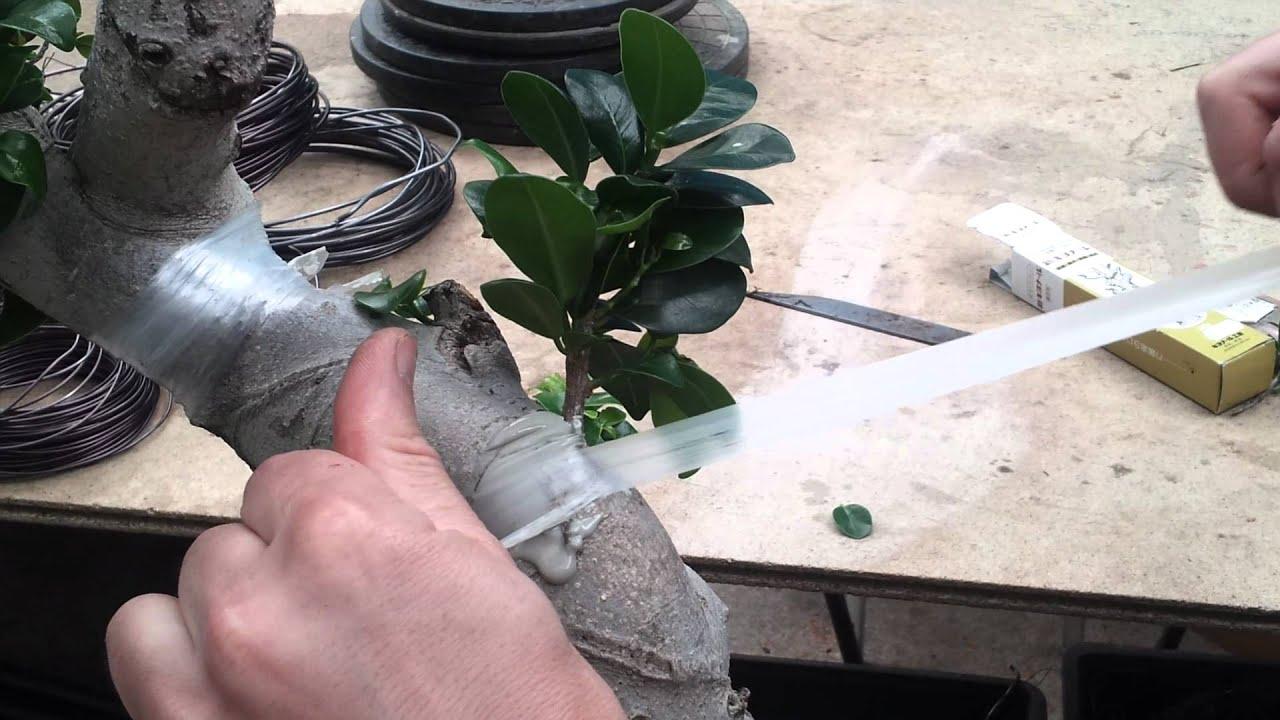 Como hacer un injerto en un ficus youtube - Como cuidar un bonsai ...