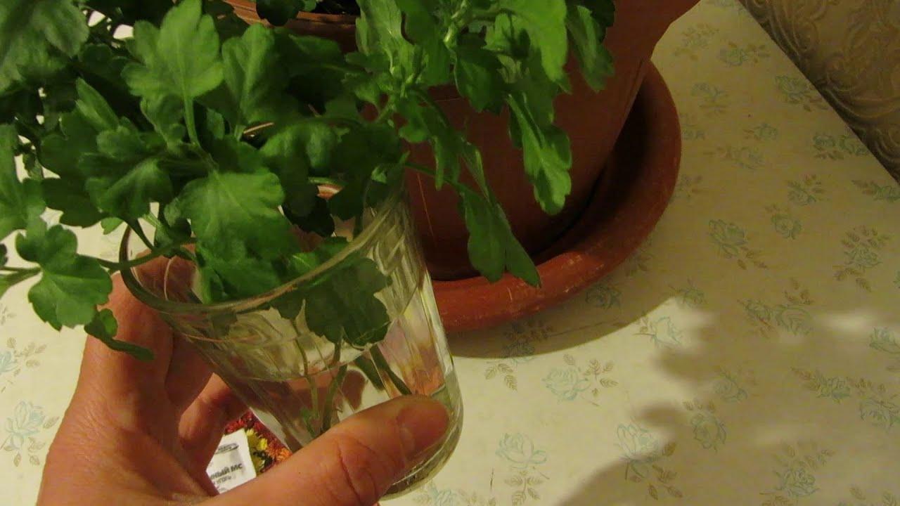 Выращивание хризантемы из черенка 5215