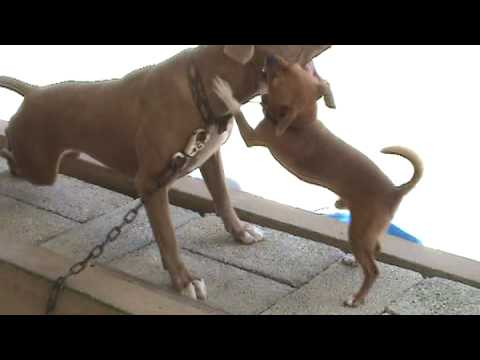 Pitbull Beaten By Chiwawa