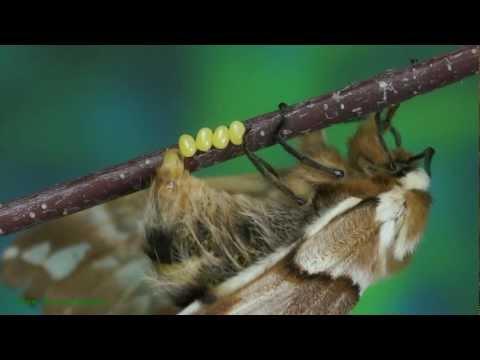 Endromis versicolora - Nasierszyca różnobarwna - Birkenspinner