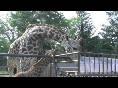 マサイキリンのへその緒~Umbilical cord of Giraffe