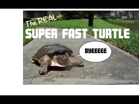 Animales - La tortuga más rápida del mundo