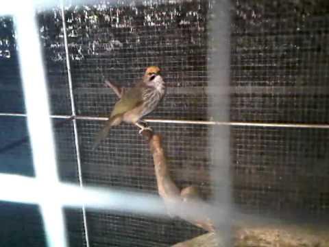 นกปรอดแม่ทะ