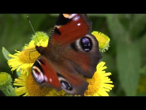 Rose Pond Butterflies - 25th July to 1st Aug 10