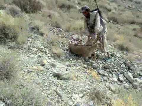 Ibex Hunting in Balochistan Ibex Hunting