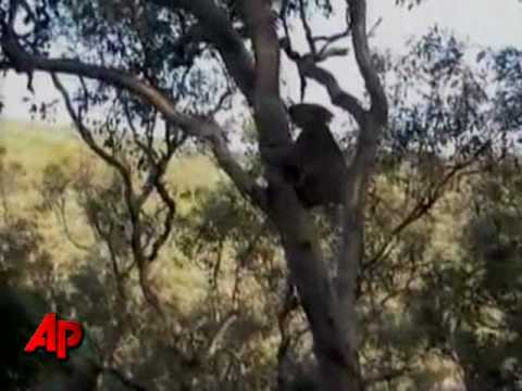 Koala Mating Captured Via Cell Phone