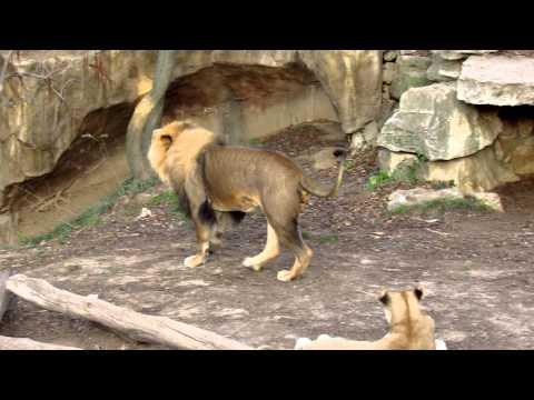 Male Lion Roaring video