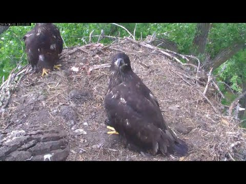 MNBound Eagles Peace Takes Live Fish From Dad 6-18-13