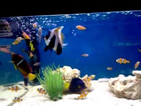 0161 476 4439 ABYSS AQUATICS, Zebrasoma Xanthurum, Emperor Tang, & Passer Angel Fish.mp4