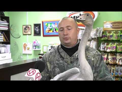 Житель Нового Уренгоя приютил дома дикого лебедя.