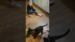 GSD puppies macie