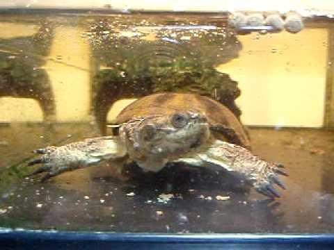 Header of African Dwarf Mud Turtle