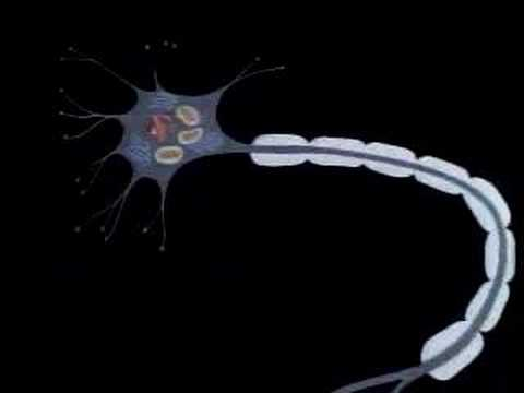 The Human Body: Nervous System (2nd Ed., Rev.) (clip)
