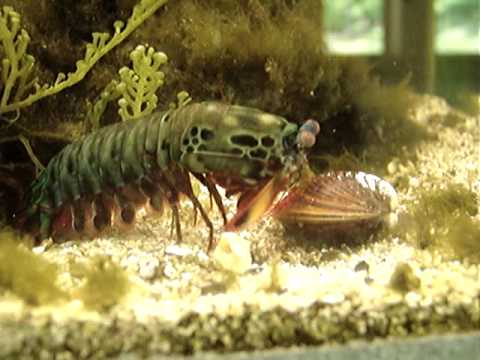 Mantis Shrimp Destroys Clam