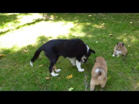 VDH Shelties vom Ponyhügel: M-und N-Wurf spielen im Garten Tag 36 und 31!