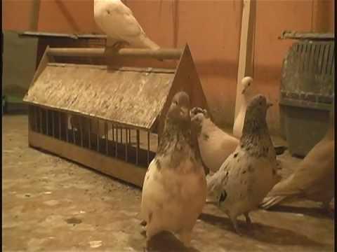 گروه تلگرامی کبوتر های مسافتی کبوتر های اصیل ایرانی سال ۲۰۱۲. Iranian High-Flyers