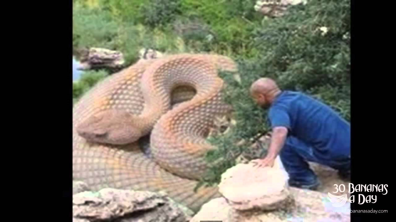 Biggest Pet Snake in The World The Worlds Biggest Snake Found