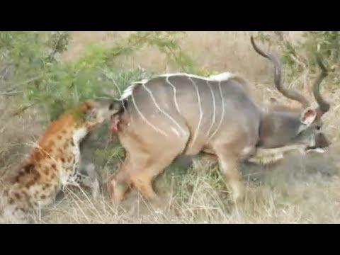 2 Hyenas Drag Kudu to the Death
