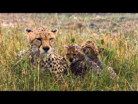 Felinos de África - Disney Nature - Walt Disney Studios Oficial