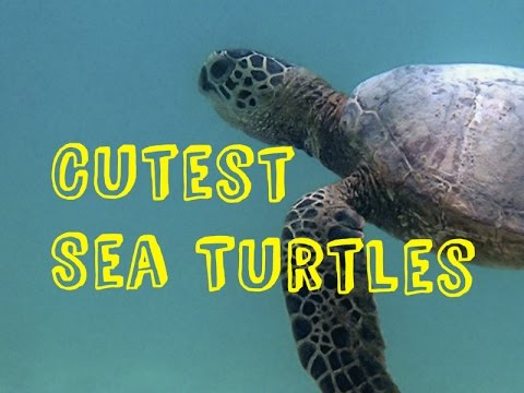 Curious Super Cute Sea Turtles love to swim the ocean blue! [New HD 2015]