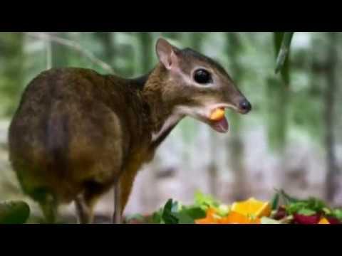 Hamster Size Hamster-sized Deer Born in