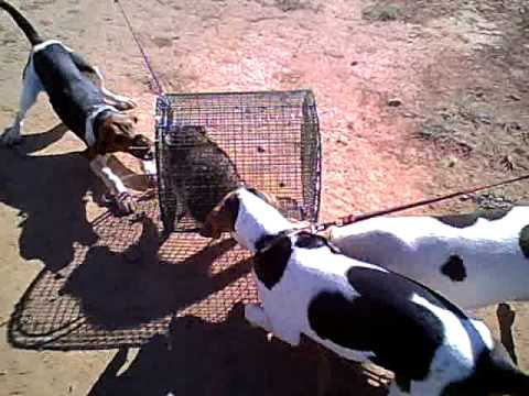 Walker Coon Hounds treeing a caged coon Video