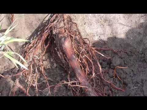 Как правильно пересадить куст винограда