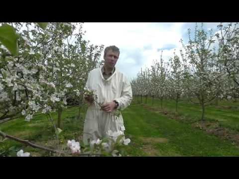 Bio-Dynamische Landwirtschaft - Episode 1 - Bestäubung Der Äpfel