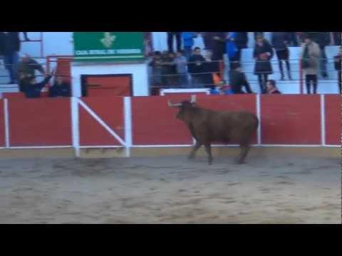 Fiestas de San Raimundo en Fitero (NAVARRA) Vacas en la plaza de toros