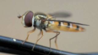 Hoverfly on Basilicum HD 720p
