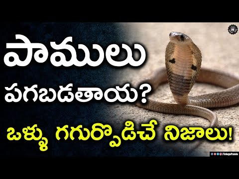 Do Snakes Really take Revenge? | Unknown Facts About Snakes | Telugu Panda