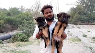 Gsd puppy Male 25k #petsvilla  9657686566