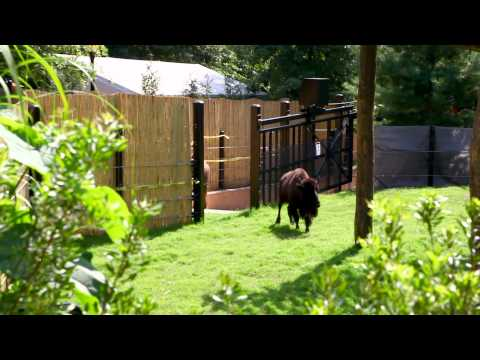 American Bison Return to Smithsonian's National Zoo