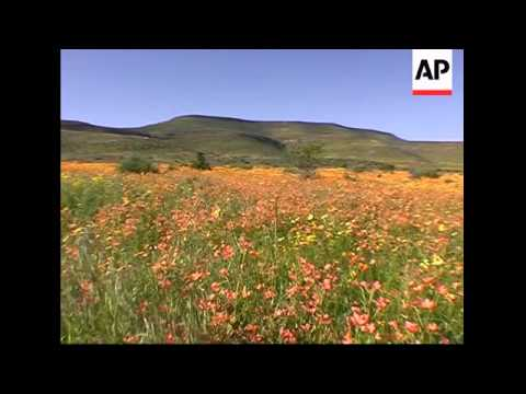 Thousands of wildflowers bloom in South Africa