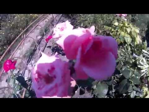Как Правильно Прививать Розы Осенью. Окулировка и Уход за Домашним Садом