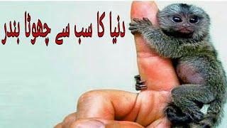 World Smallest Monkey in Urdu   2018   Purisrar Duniya