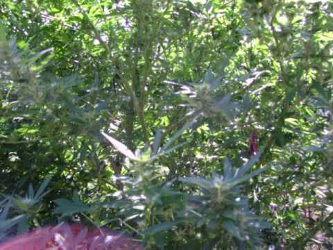 HUGE Marijuana Plant Outdoor Sept 07 Video