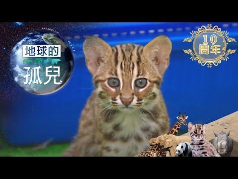 台灣1001個故事-20200405 地球的孤兒~貓的消失,石虎的生與死
