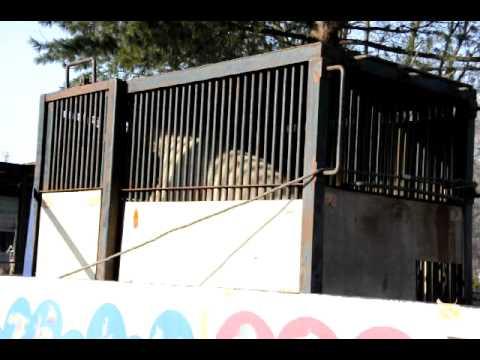 2011年3月6日 浜松市動物園へと旅立つキロル