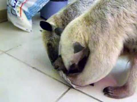 Anteaters Quibble over blue cheese