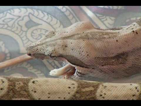 Red Tail Boa, Boa Constrictor Eating AF/T Mouse Video