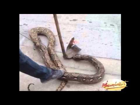 ชาวบ้านช่วยจับงูเหลือมยักษ แฟนข่าวเล่าเรื่อง