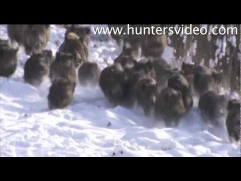 wild-boar-fever-2-hunters-video.html