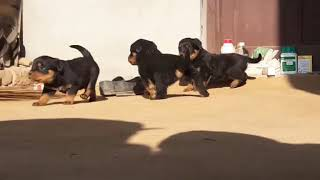 Rottweiler puppies are available call 7004564508