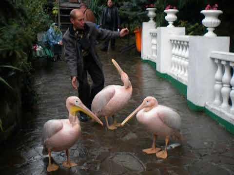 Пеликаны и лебеди . Ялта . Зоопарк Сказка . Канал Сеньор Арсений