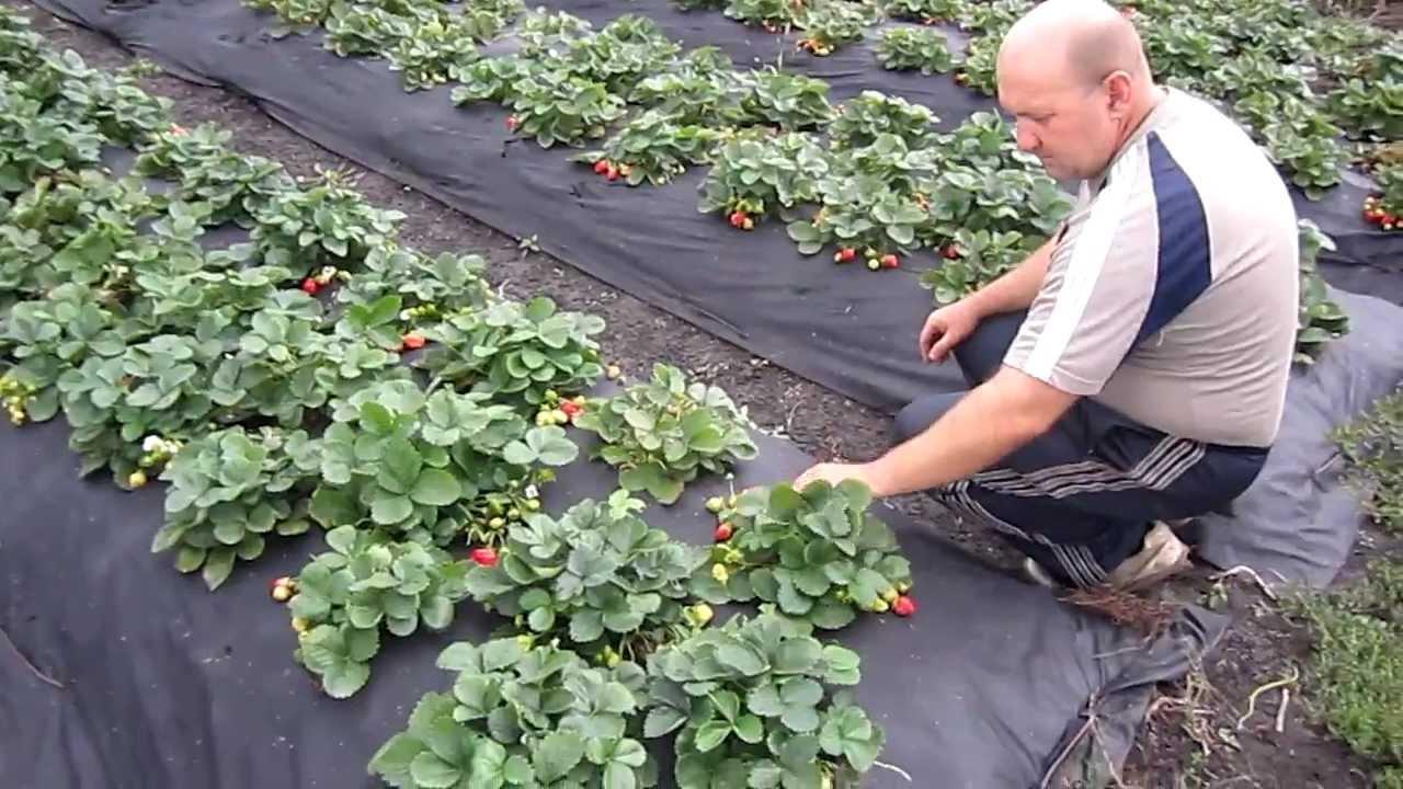 Земляника садовая выращивание и уход после сбора урожая 44